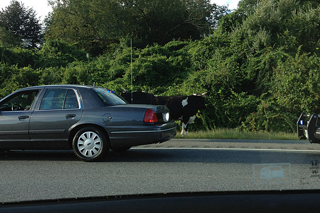 Oxen On Highway