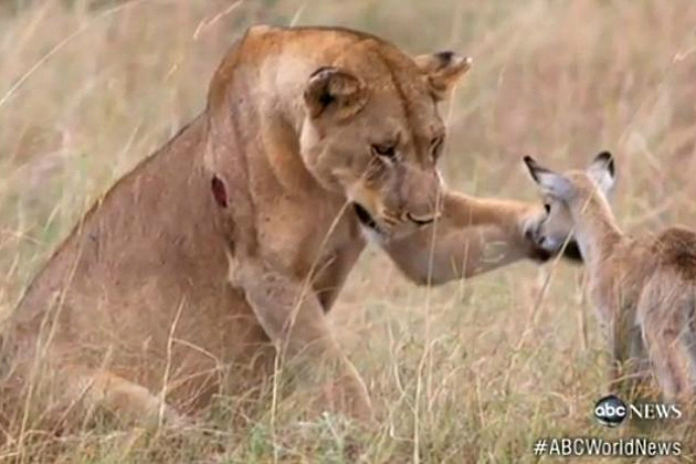 Lion and Baby Antelope