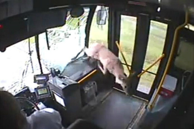 Deer In A Bus