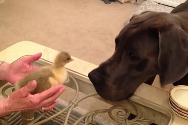 Dog Vs. Goose