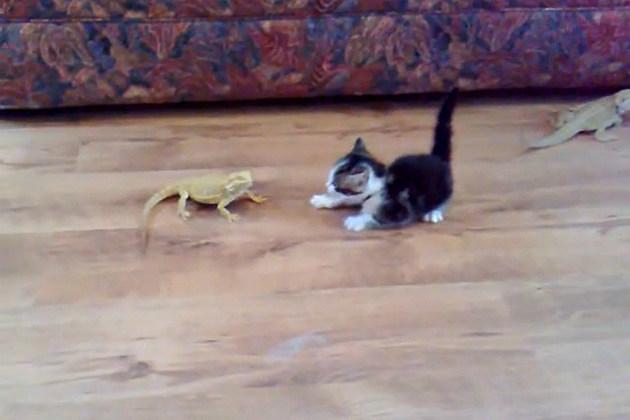 Kitten vs. Lizard