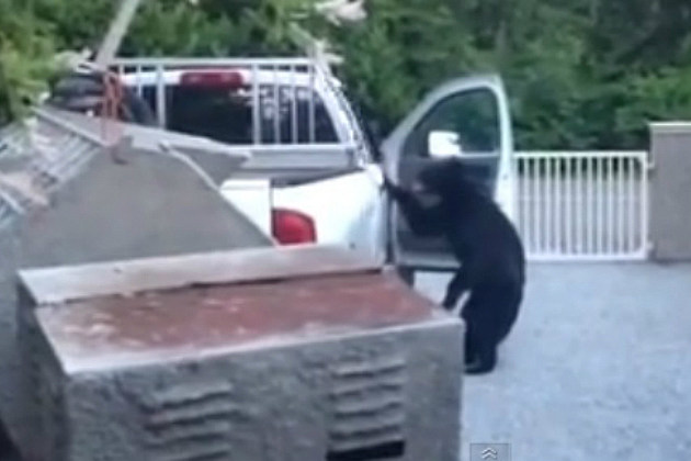 Canadian Bear Thieves