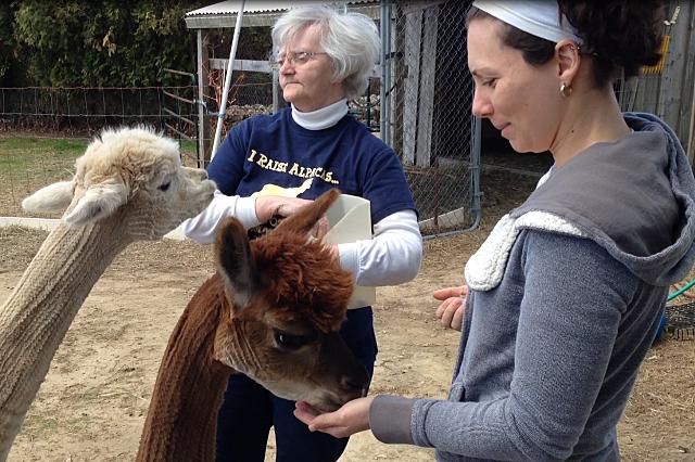 Nancy feeds alpacas