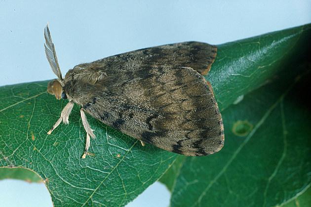 male-moth_1